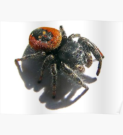 Black Skull on  it's Back<> Red jumping spider  Poster