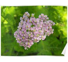 Budding Achillea millefolium - Common Yarrow Poster