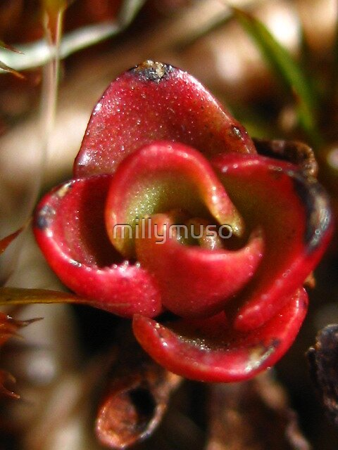 succulent flower by millymuso