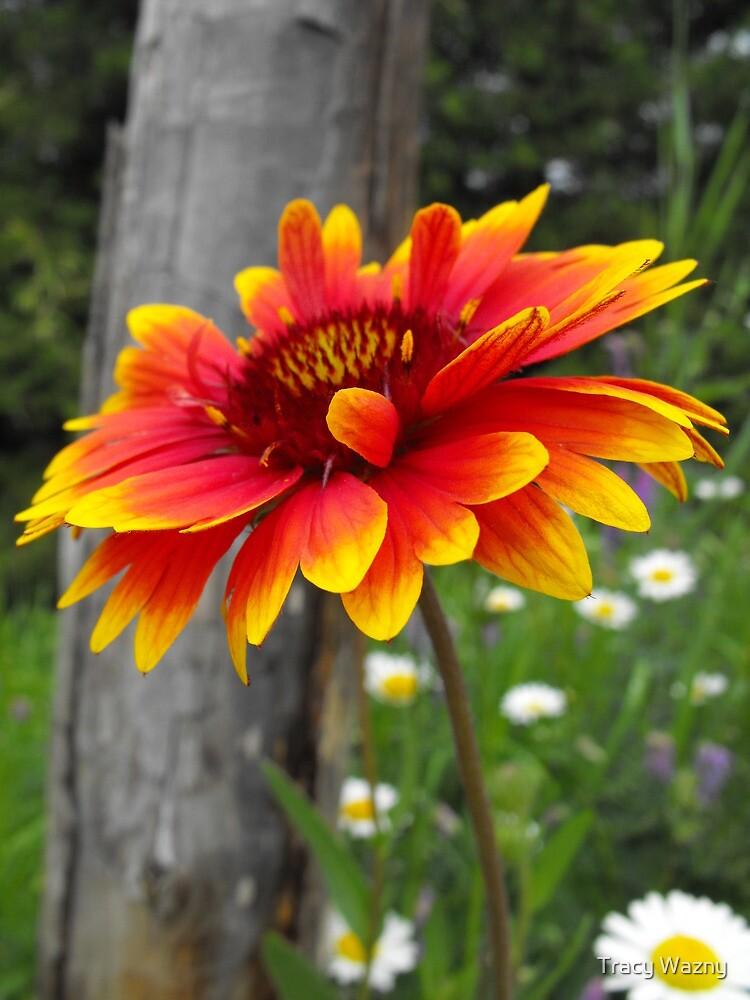 Blanket Flower-Asteraceae-Gaillardia  by Tracy Wazny
