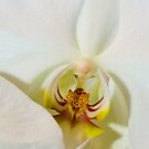 White Orchid by Tracy Riddell