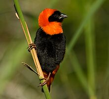 Red Bishop Male in full breeding splendour. All he lacks is a halo !! by wildshot