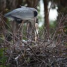 Great Blue Heron (Nesting) by D R Moore