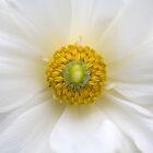 Ranunculus 1 by Brian Haslam