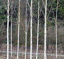 Silver Birches - Winter Garden, Dunham Massey by Chris Monks