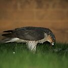 Urban Sparrow Hawk by FraserJ