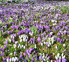 Crocus Carpet by Lilian Marshall
