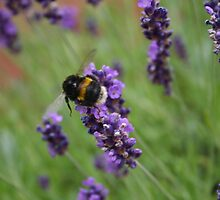 Lavender Bumble Bee by alleyb