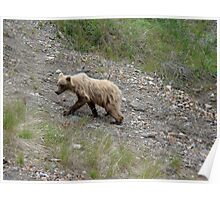"""Juvenile """"blond"""" grizzly  Poster"""
