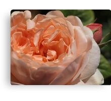 My Ambridge Rose Canvas Print