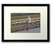 Whiskered Tern Framed Print