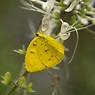 Lemon Migrant Butterfly by Rosemaree