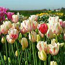 Tulips by Nikki Collier