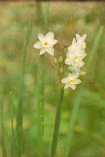 Spring Daffodils by Barbara Manis