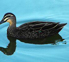 Mallard duck, Anas platyrhynchos by Julia Harwood
