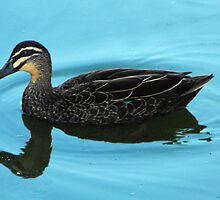 Mallard duck, Anas platyrhynchos by Julia Harwood