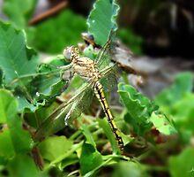 Dragonfly, Anisoptera by Julia Harwood