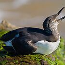 Common Murre by Leroy Laverman