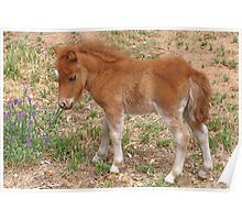 Foal Sniffing Flowers Poster