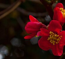 Quince, Red Flowering Cydonia japonica rubra by Dawn OConnor