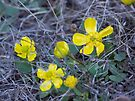 Sagebrush Buttercup by BettyEDuncan