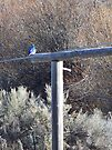 Mountain Bluebird on the Gate Post by BettyEDuncan