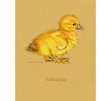 Duckling, Duck, in colored pencil and pen and ink Photographic Print