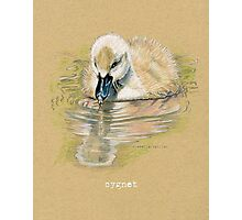 Cygnet, Baby Swan, in colored pencil and pen and ink Photographic Print