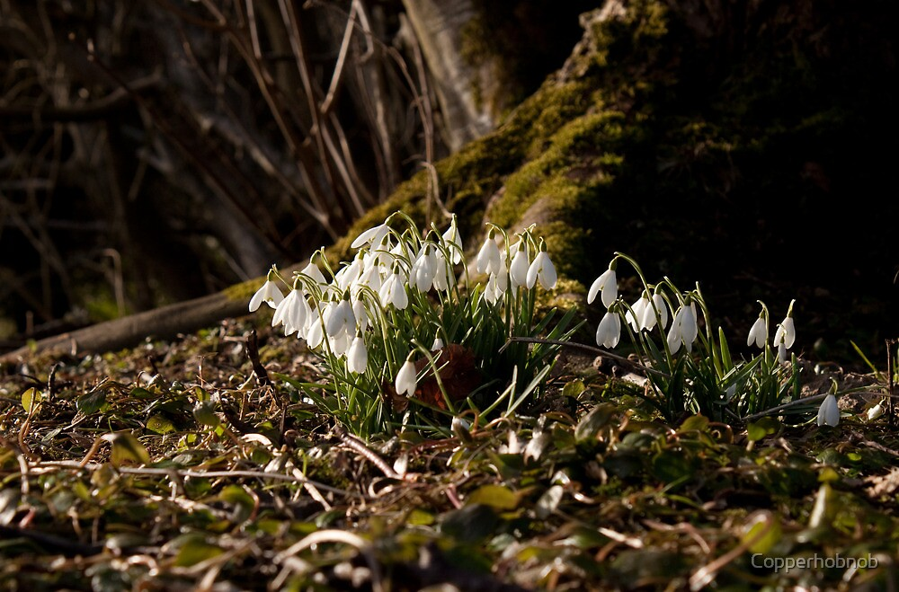 Snowdrops at tree base by Copperhobnob