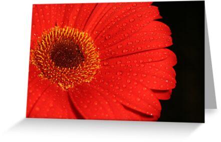 red gerbra by footsiephoto