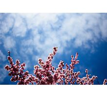 Cherry Blossom reaching for the sky Photographic Print