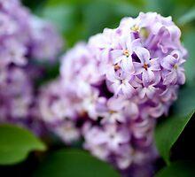 Lilacs by Julie van der Wekken