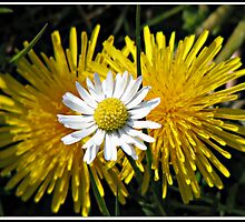 Cheeky Button Daisy in Front of Two Dandelions by BlueMoonRose