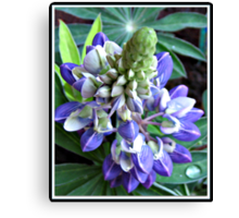Raindrops on Baby Blue Lupin  Canvas Print