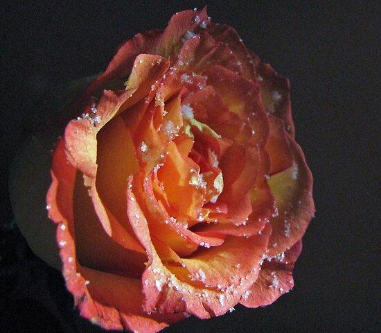 Sugared Rose by trueblvr