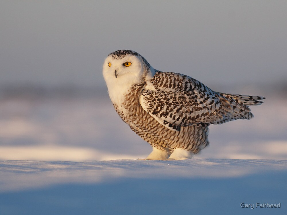 Sub Zero / Snowy Owl by Gary Fairhead