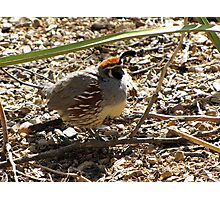 Gambel's Quail ~ Male Photographic Print