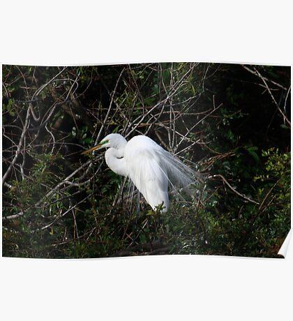 Great White Egret (Casmerodius albus) Poster