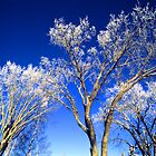 frosty morning tree-tips by ionclad