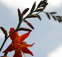 Crocosmia flower by Bob Hardy