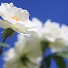 So white the rose by Hege Nolan