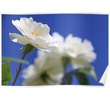 So white the rose Poster
