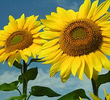 2 Sunflowers Are Better Then One by Kissy