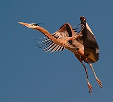 0303101 Great Blue Heron by Marvin Collins