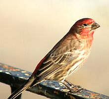 House Finch / Purple Finch ?  Male! by Ruth Lambert