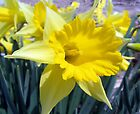 The First Daffodil of the Spring of 2010 by barnsis
