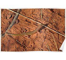 Narrow-banded Sand Swimmer (Eremiascincus fasciolatus), Tanami Desert, Central Australia Poster