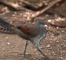 Lyrebird by Tom Newman