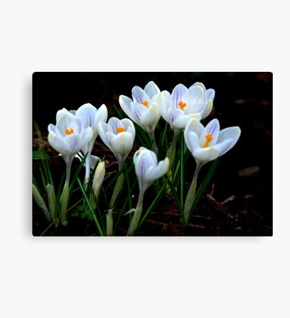 Beautiful (Spring Crocus early April) Canvas Print