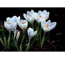 Beautiful (Spring Crocus early April) Photographic Print